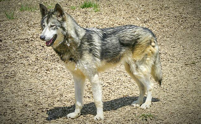 wolf-hybrid-most-dangerous-dogs