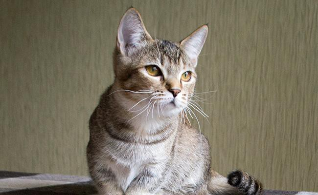 munchkin-cat-breed-characteristics-sheet
