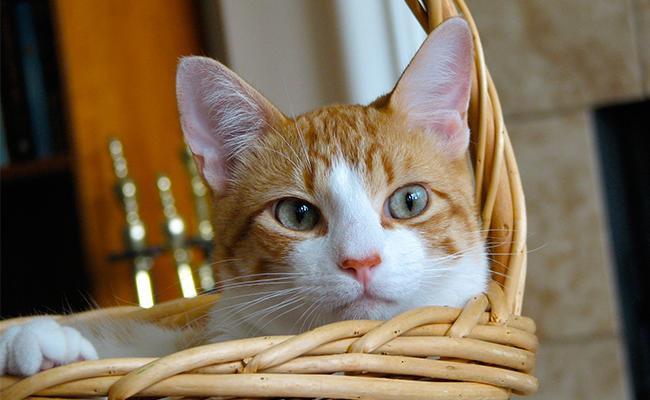 munchkin-cat-care