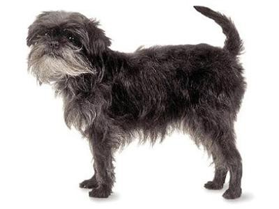 affenpinscher-non-shedding-dogs