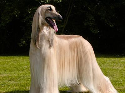 afghan-hound-non-shedding-dogs