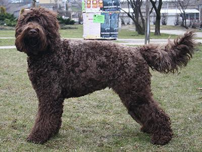 barbet-non-shedding-dogs