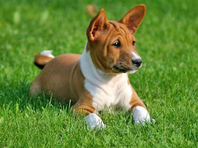 basenji-non-shedding-dogs