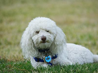 bichon-frise-non-shedding-dogs