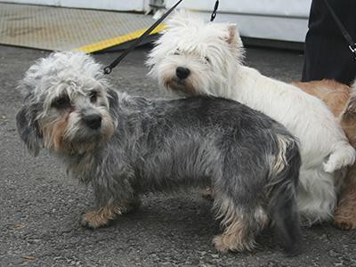 dandie-dinmont-terrier-non-shedding-dogs