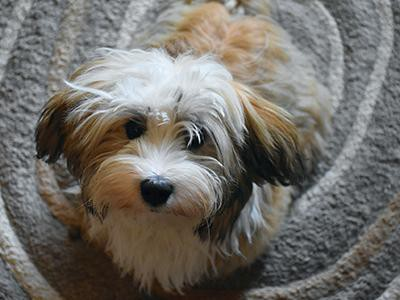 havanese-non-shedding-dogs