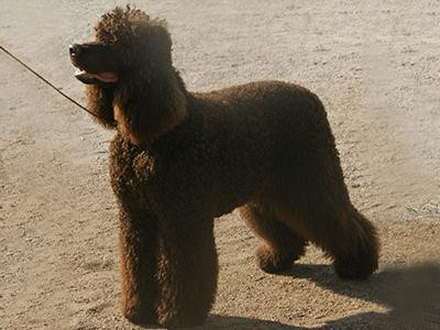 irish-water-spaniel-non-shedding-dogs