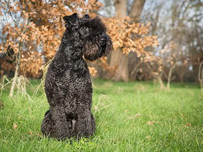 kerry-blue-terrier-non-shedding-dogs