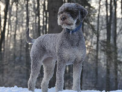 lagotto-romagnolo-non-shedding-dogs