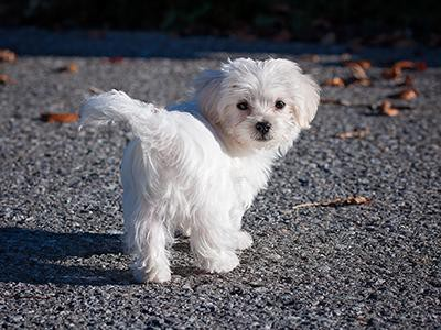 maltese-non-shedding-dogs