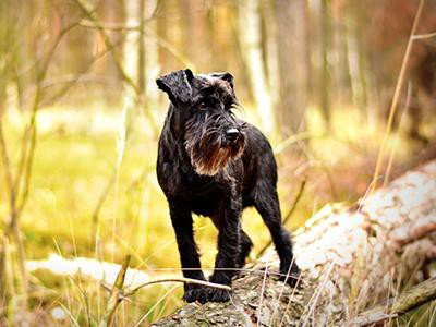 miniature-schnauzer-non-shedding-dogs
