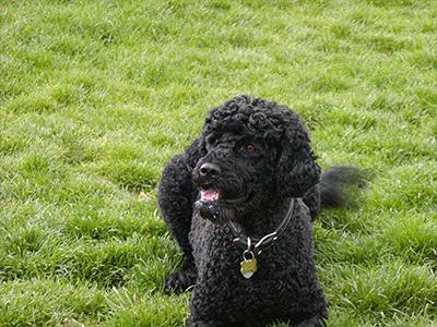 portuguese-water-dog-non-shedding-dogs