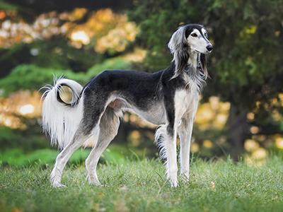 saluki-non-shedding-dogs