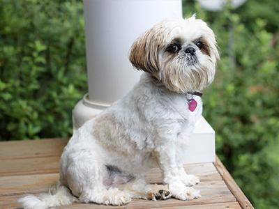 shih-tzu-non-shedding-dogs