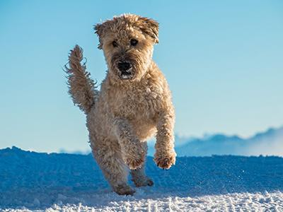 soft-coated-wheaten-terrier-non-shedding-dogs