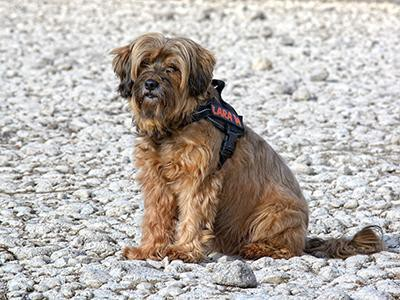 tibetan-terrier-non-shedding-dogs