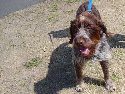 wirehaired-pointing-griffon-non-shedding-dogs