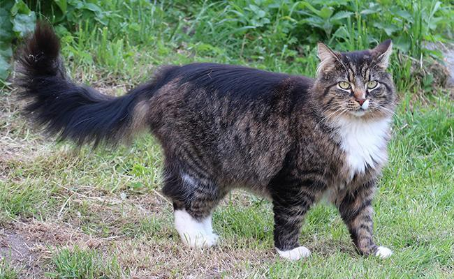 norwegian-forest-cat-personality