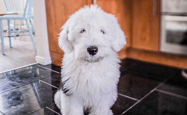 old-english-sheepdog-facts
