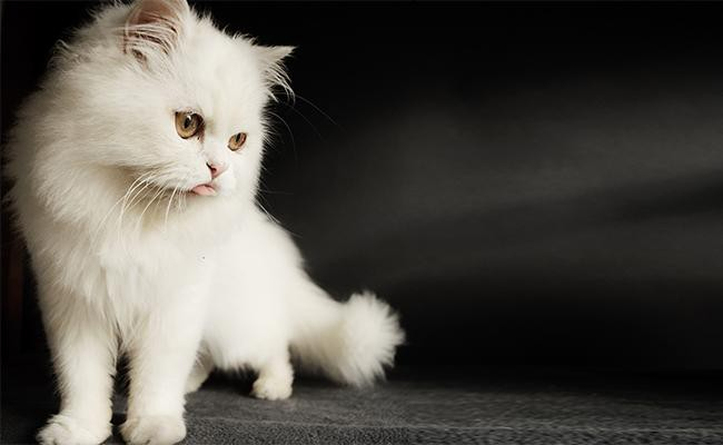 female-persian-cat-names