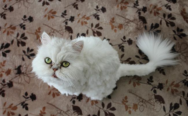 persian-cat-breed-characteristics-sheet