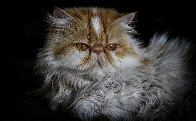 persian-cat-temperament