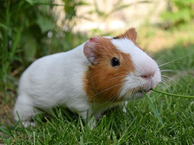 guinea-pigs-pet-friendly-homes