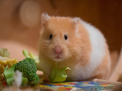 hamsters-pet-friendly-homes