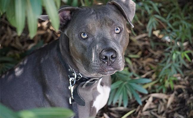blue-nose-pitbull-names