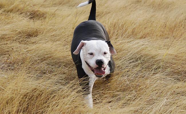 male-pitbull-names