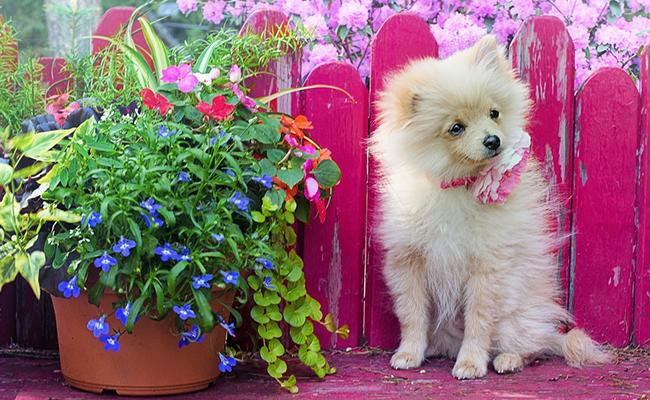 cute-pomeranian-names