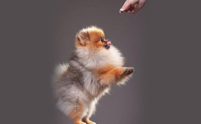 pomsky-puppy-temperament