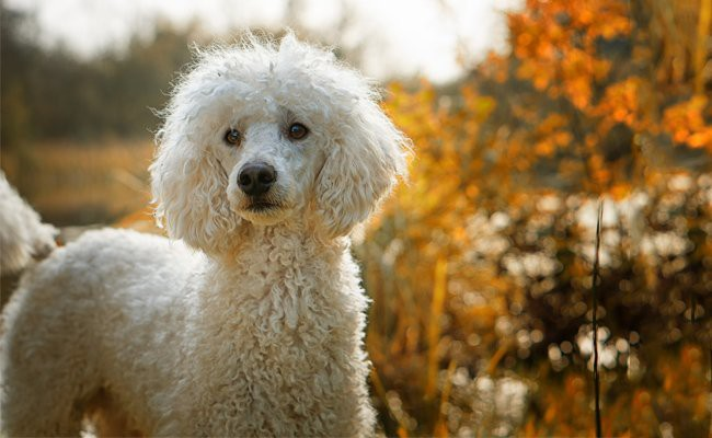 poodle-dogs-facts