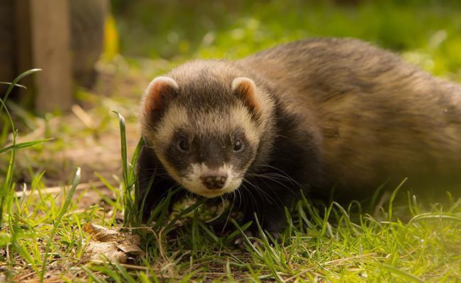 ferrets-popular-house-pets