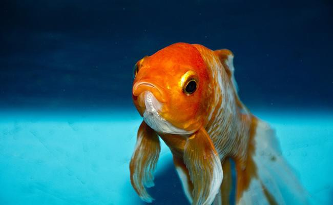 fish-popular-house-pets
