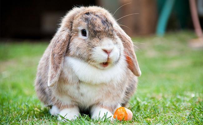 rabbits-popular-house-pets