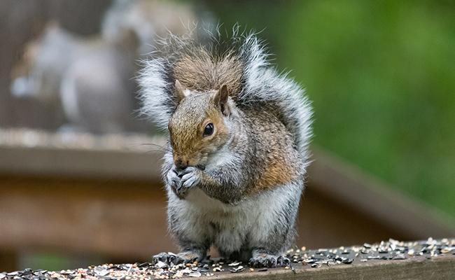squirrels-popular-house-pets