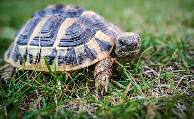 tortoise-popular-house-pets