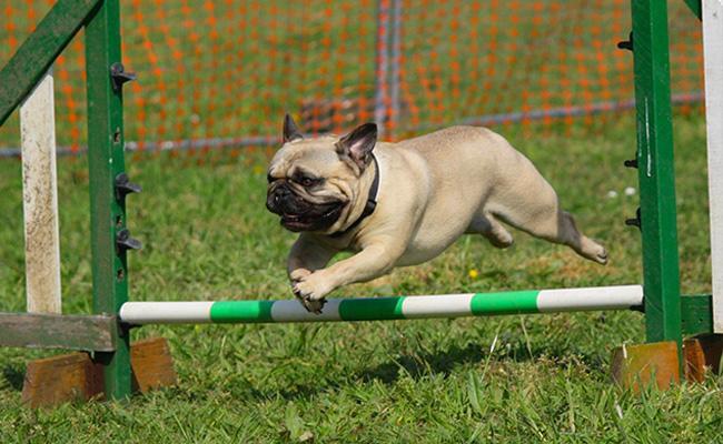 how-to-train-a-pug