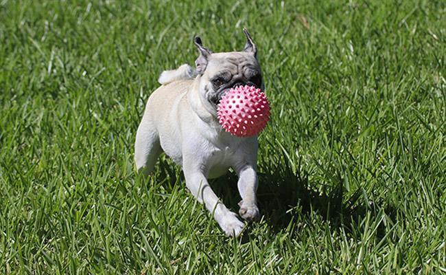 temperament-of-a-pug