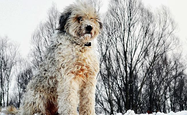 bergamasco-rarest-dog-breeds
