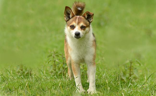 norwegian-lundehund-rarest-dog-breeds