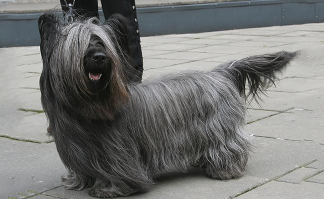 skye-terrier-rarest-dog-breeds