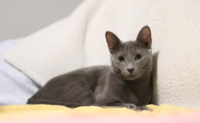 russian-blue-cat-origin