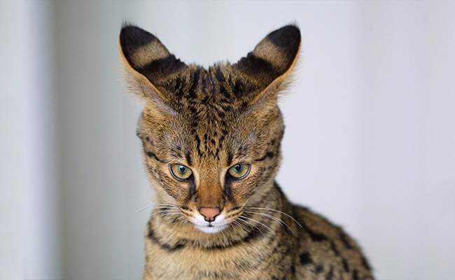 savannah-cat-history
