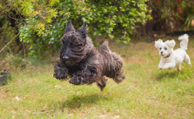 facts-about-scottish-terrier