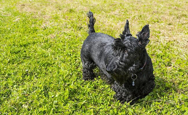 size-weight-scottish-terrier