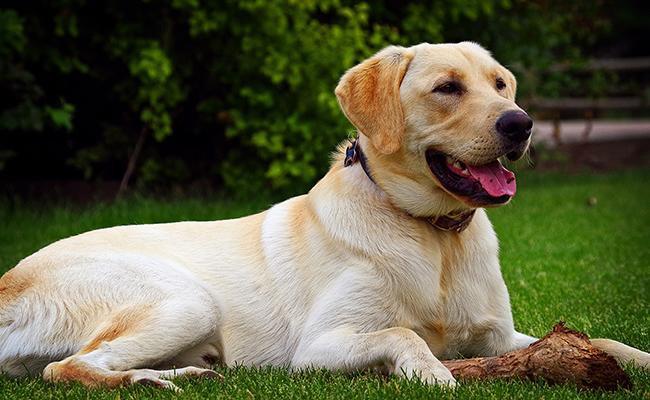 labrador-retriever-service-dogs