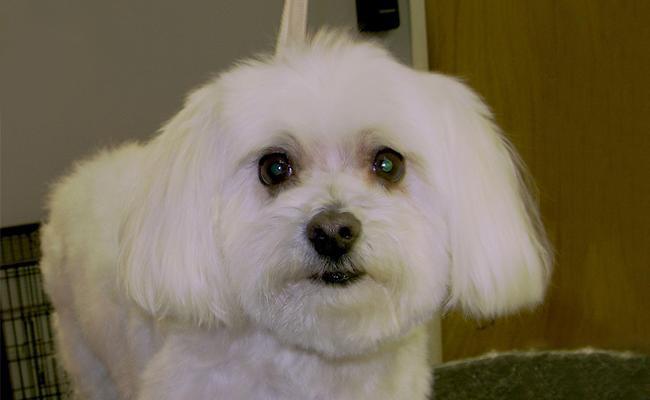 puppy-cut