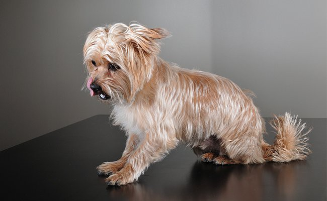 shorkie-size-weight